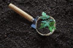 Tomatplanta, innan att plantera Plantera unga växter Royaltyfria Bilder
