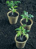 Tomatplanta, innan att plantera Plantera unga växter Arkivfoton
