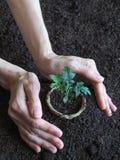 Tomatplanta, innan att plantera Plantera unga växter Royaltyfria Foton