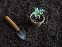 Tomatplanta, innan att plantera Plantera unga växter Royaltyfri Foto