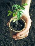 Tomatplanta, innan att plantera Plantera unga växter Fotografering för Bildbyråer