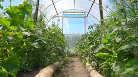 Tomatplantan med gula blommor växer i ett ljust växthus i ett soligt ställe, ultrarapid stock video