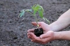 Tomatplantan med klumpen av jord gömma i handflatan in av händer close upp Arkivfoton