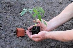 Tomatplantan med klumpen av jord gömma i handflatan in av händer close upp Arkivbilder