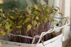 Tomatplantor på en fönsterbräda Arkivbild