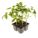 Tomatplantor som är klara för transplantera fyrkant Arkivfoto