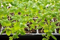 Tomatplantor som växer in mot solljuset på fönsterbräda arkivbilder