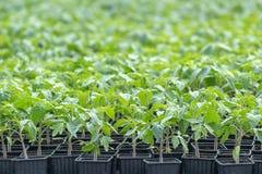 Tomatplantor, ung lövverk av tomaten, vårplantor Royaltyfri Foto