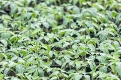 Tomatplantor, ung lövverk av tomaten, vårplantor Arkivfoton