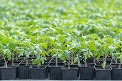 Tomatplantor, ung lövverk av tomaten, vårplantor Royaltyfria Foton