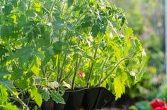 Tomatseedings i de spesial cellerna Royaltyfri Bild
