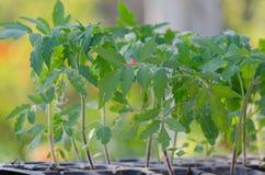 Tomatseedings i de spesial cellerna Royaltyfria Foton