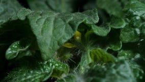 Tomatsidor och blommor stock video