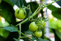 Tomatto Foto de Stock Royalty Free