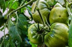Tomattos verts images libres de droits