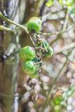 Tomatträdgård fotografering för bildbyråer