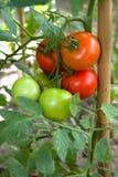 Tomatväxt Arkivbild