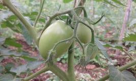 Tomatväxt i fält Arkivbild