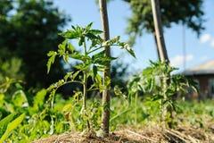 Tomatväxt i trädgård Arkivfoto