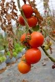 Tomatväxt med röda frukter på filial Royaltyfri Fotografi
