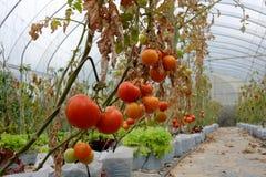 Tomatväxt med röda frukter på filial Royaltyfria Foton
