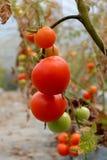 Tomatväxt med röda frukter på filial Fotografering för Bildbyråer