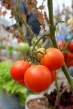 Tomatväxt med röda frukter på filial Arkivfoto