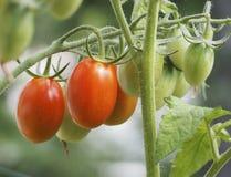 Tomatväxt med tomater Arkivfoton