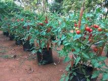 Tomatväxt på polybag Royaltyfri Fotografi