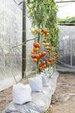 Tomatväxt som växer i grönt hus, Royaltyfri Bild