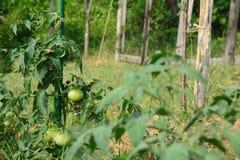 Tomatväxten med omogna frukter band upp en insats Royaltyfri Fotografi