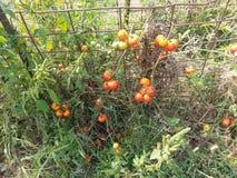 Tomatväxter Royaltyfri Foto