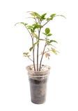 Tomatväxter Arkivfoton