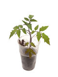 Tomatväxter Arkivbild
