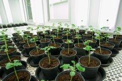 Tomatväxter för sjukdomprovning. Arkivfoton