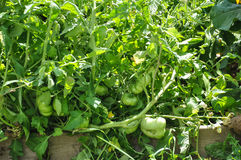 Tomatväxter i bakgårdträdgård Arkivfoto