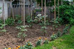 Tomatväxter i trädgård Arkivbild