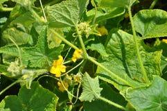 Tomatväxter som blommar i sol Arkivbilder