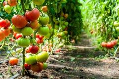 Tomatväxter som växer inom ett växthus Arkivfoto