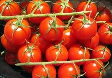 tomatvine Fotografering för Bildbyråer