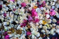 Tombé aux fleurs moulues du plan rapproché de Bougenvillia d'usine Images stock