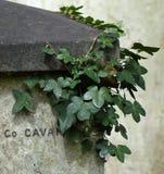 Tomba con l'edera e le coccinelle immagine stock
