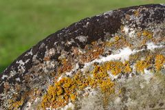 Tombstone decay in colors of lichen and moss. Lichen and mosses on a cemetary headstone paint yellow, orange, ochre and more on this rounded top of hundred or Royalty Free Stock Image