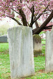 Tombstones with Cherry Tree. A cherry tree blooms in spring behind old tombstones in a cemetery Stock Image