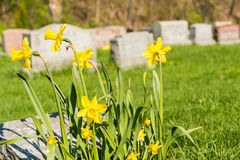 Tombstones in Montreal Cemetery with yellow jonquils in springti Stock Images