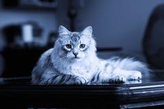 Tomcat白色 免版税库存照片