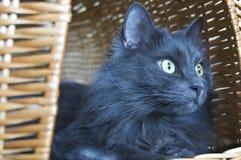 Tomcat в корзине Стоковое Изображение