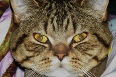 tomcat στοκ φωτογραφία με δικαίωμα ελεύθερης χρήσης