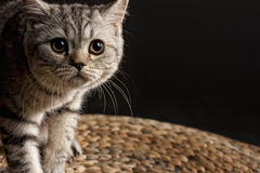 Tomcat. Gray tabby cat cautiously looking at the camera Stock Images