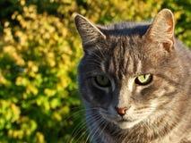 tomcat zdjęcie royalty free